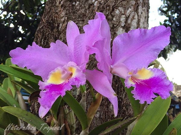 Una variedad de la flor orquídea epífita, género Cattleya