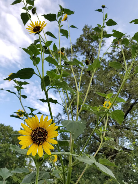 Wild sunflowers line my garden with a cheerful living fence.