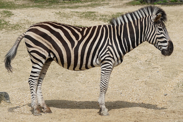 Ciri Khusus Zebra