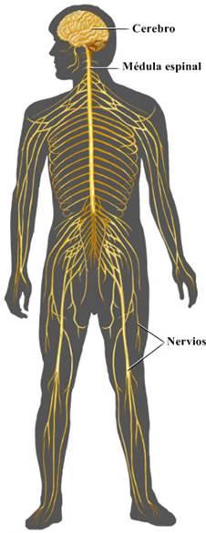 Sistema nervioso humano: anatomía y fisiología (funciones del sistema nervioso)