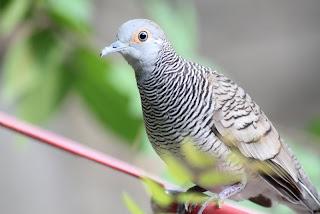 burung perkutut - agungjakanugraha.blogspot.com