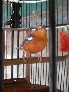 Cara menangani burung anis merah over birahi