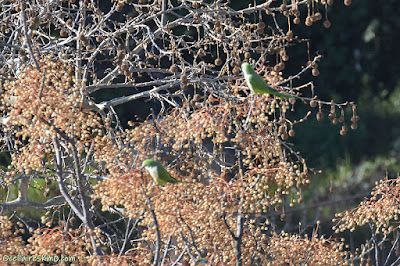 Cotorra argentina (Myiopsitta monachus)