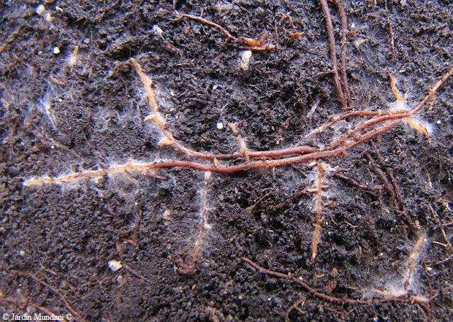 Jamur mikoriza arbuskula