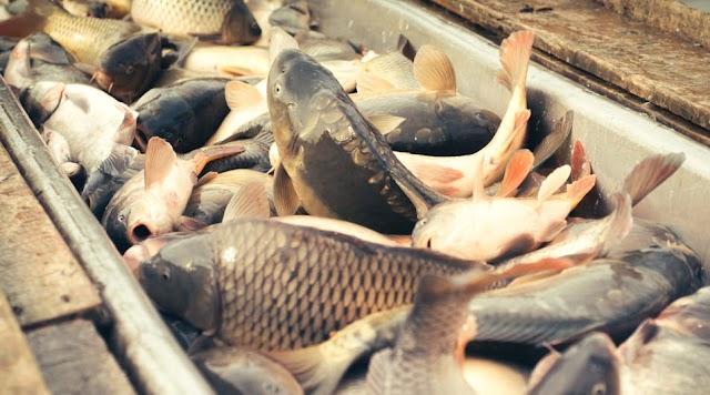 Valaki varsával akart halat fogni Nagyhegyesnél, a halőrök az egészet levideózták