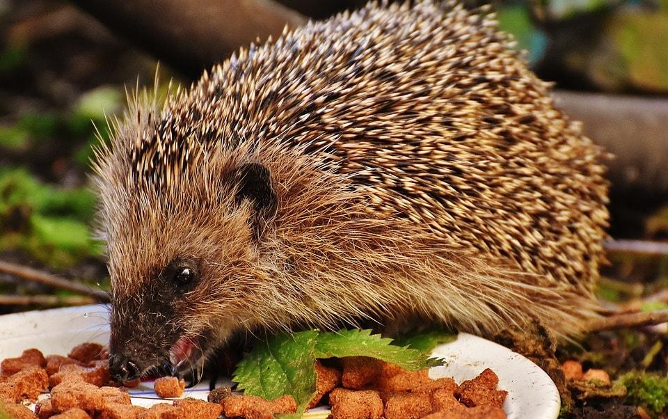 Hedgehog Ground
