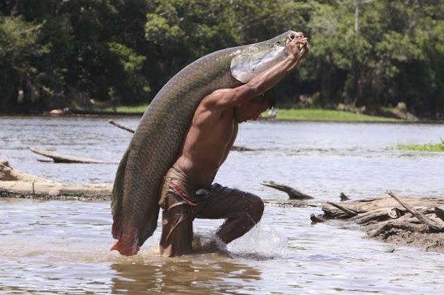 Amazonka arapaima