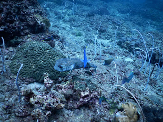 photo of a porcupine fish diving Phi Phi and using Nikon Coolpix camera