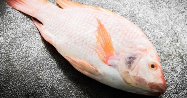 Berikut Supplier Jual Ikan Nila Bibit dan Konsumsi di Palu, Sulawesi Tengah