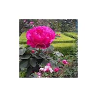 Flori de vis