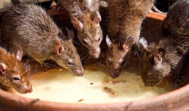 Control de plagas de roedores