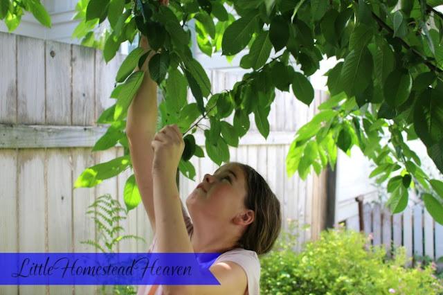 Cherry picking 2016