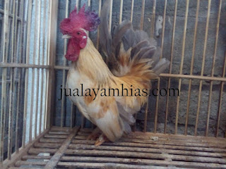 Ayam Kate Dewasa Jantan