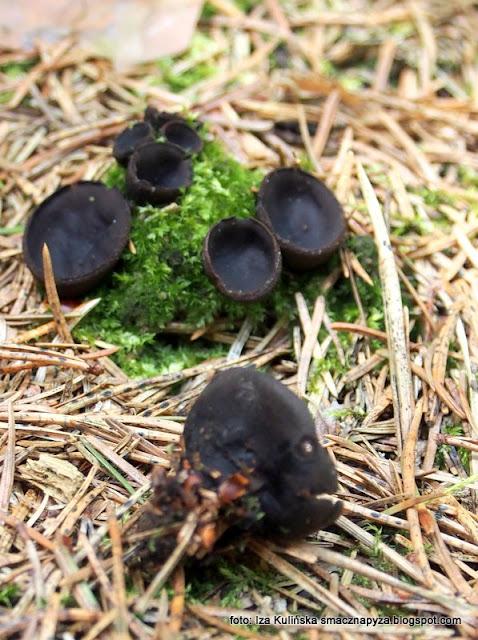 uszko czarne , pseudoplectania nigrella , czarna czarka , grzyby , grzyb , mykologia , atlas grzybów , grzyby gatunkami