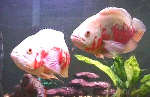 Cara Membedakan Ikan Oscar Jantan Dan Betina Dengan Mudah My Blog