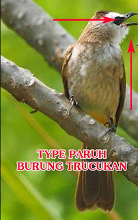 Tipe Suara Burung Trucukan Dapat Terlihat Dari Paruh Purwomp Com
