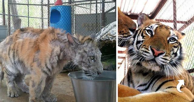 Чудесное спасение и преображение молодой тигрицы