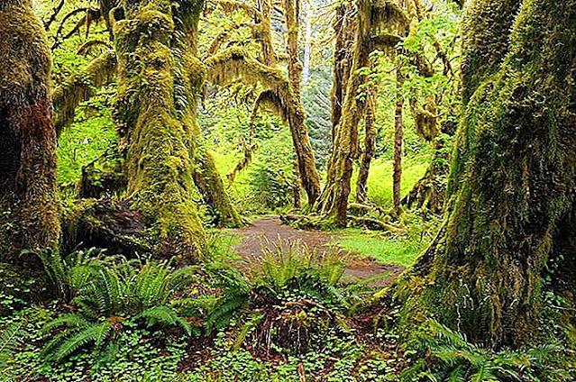 Floresta de Hoh estado de Washington