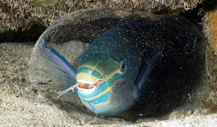 Pelindung Alami Ikan Kakatua Ketika Mereka Tertidur yang Berbentuk Seperti Kepompong Transparan