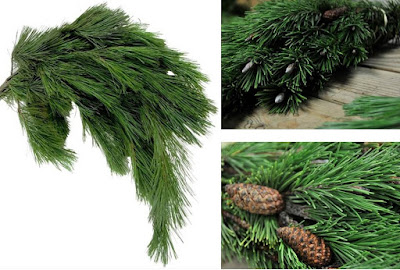 Pine for holiday arrangements
