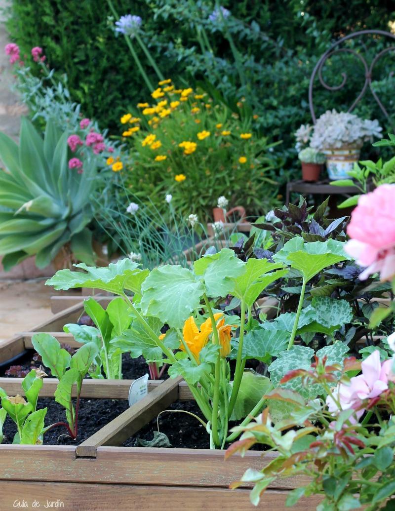 Cultivo del calabacín en el huerto urbano - Guia de jardin