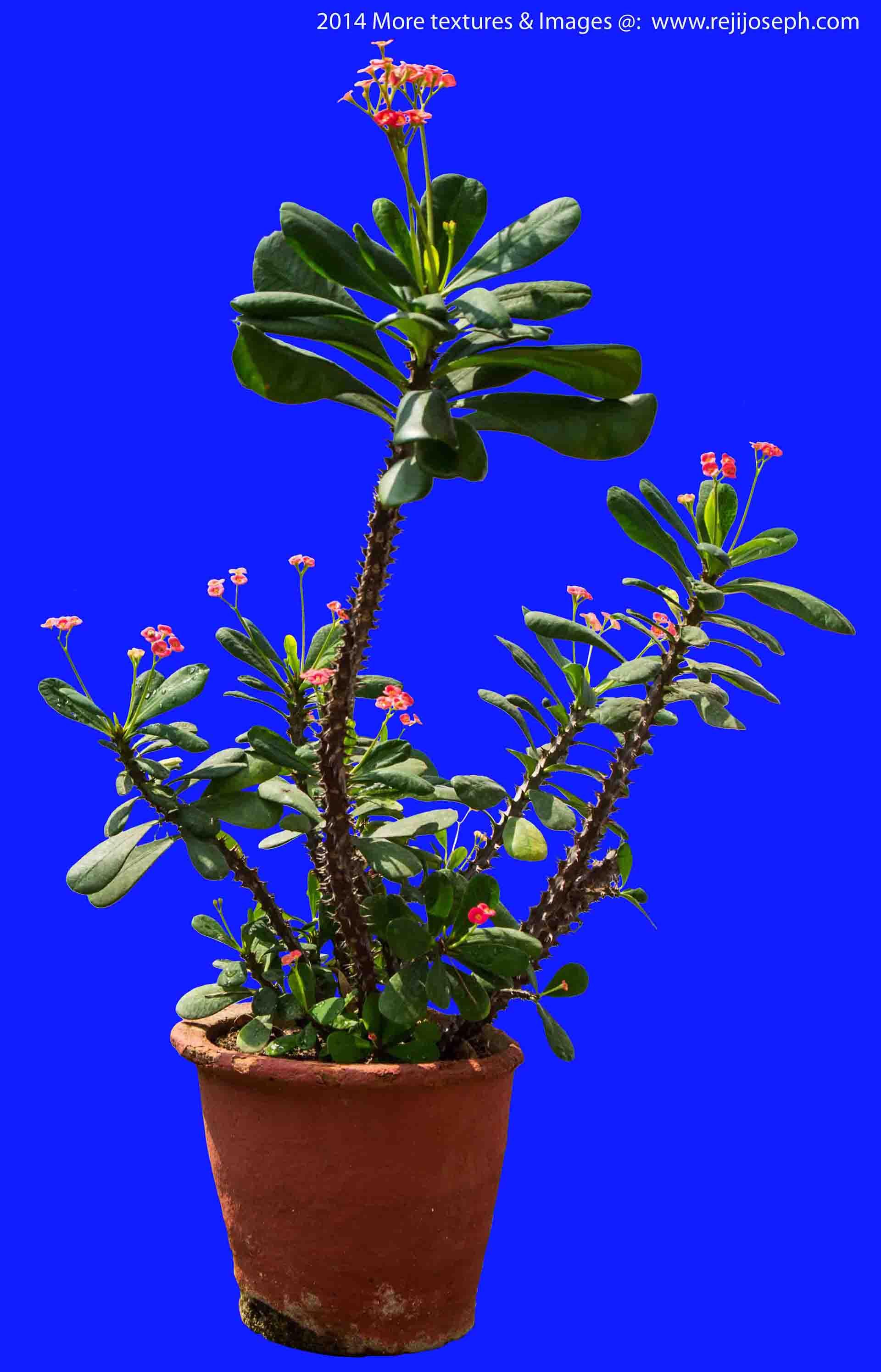 Euphorbia Milii garden plant 00002
