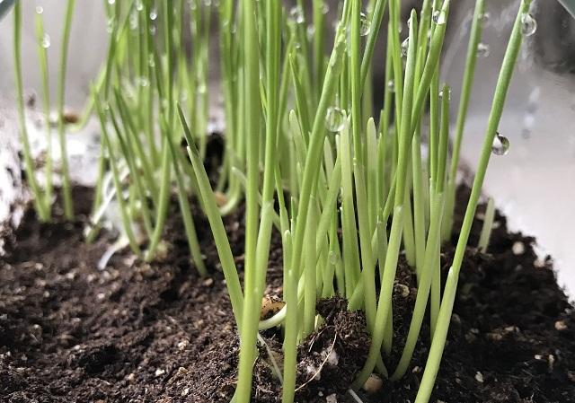 انزال الوزن من أبرز فوائد عشبة القمح