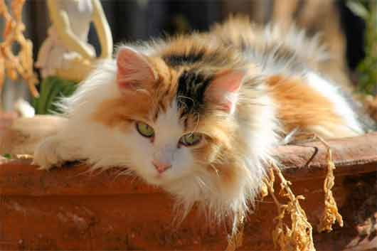 My Top Collection Calico Cat Pictures