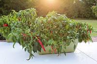 Cayenne Pepper- The Healing Herb