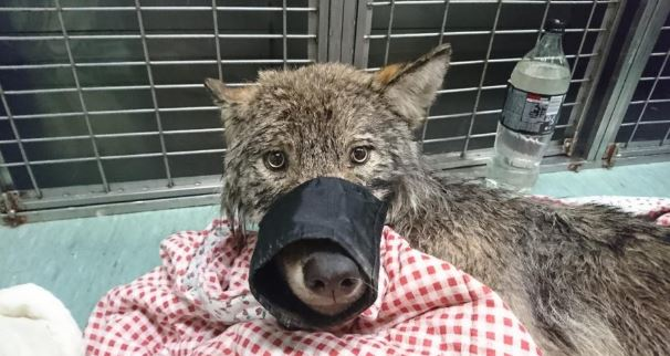 "A ""dog"" rescued from an icy Estonian river is a wolf"