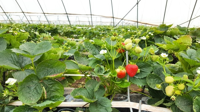 Strawberry growing tunnel
