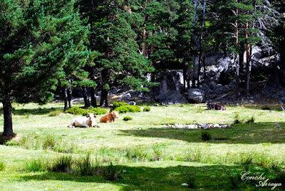 Bello prado donde dos vacas tumbadas nos miran con cara de interrogación, pero sin perder la serenidad, se ve que están bien a gusto. Seguimos dentro del parque bajando hasta la zona de la entrada.