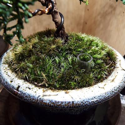 真柏の盆栽の肥料用井戸(浸透桝)