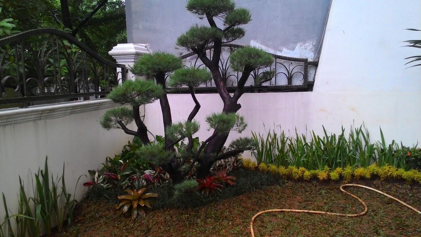 Jual Pohon Bonsai Cemara Udang Cemara Udang Murah Meriah