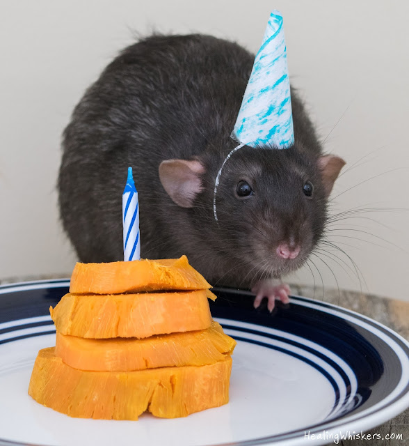 Therapy Rat Franklin with his cake