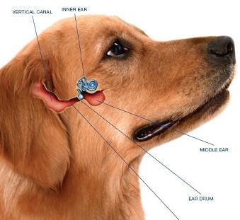 Dog Ear Infections Symptoms Treatment Australian Dog Lover