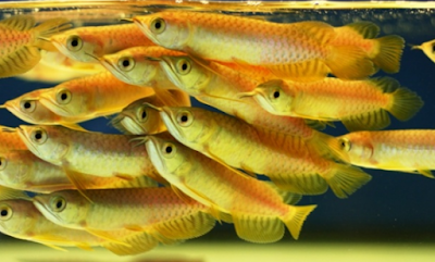 Supplier Jual Bibit Ikan Arwana Makassar, Sulawesi Selatan No. 1
