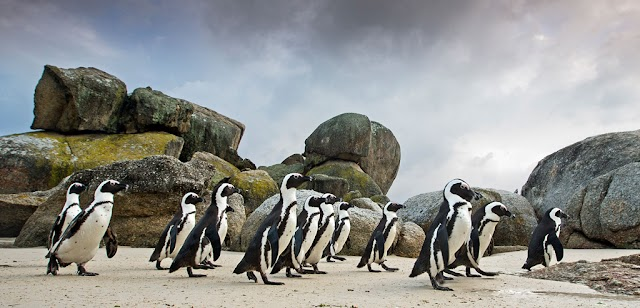 The only penguin survive in the African heat
