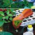 Growing hydrangea cuttings