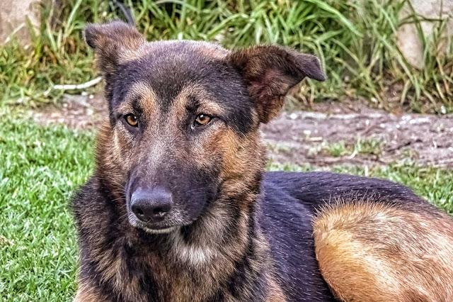 Retrato de un perro con mirada ausente.