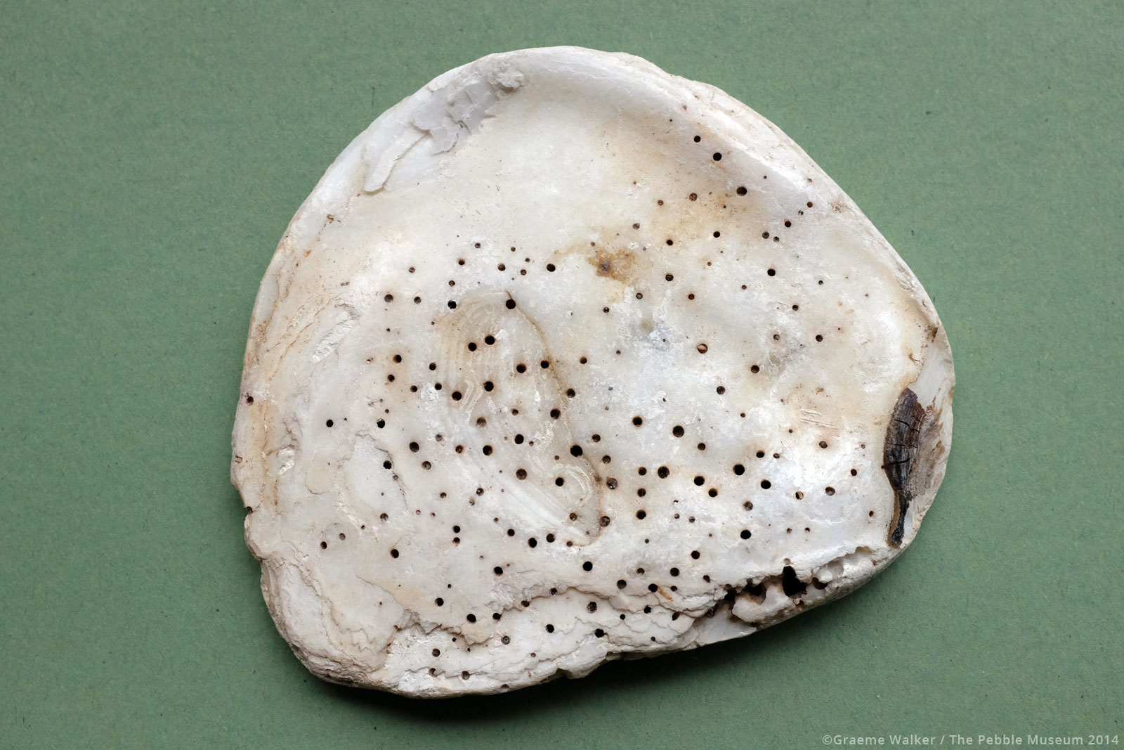 Shell © Graeme Walker / The Pebble Museum 2019