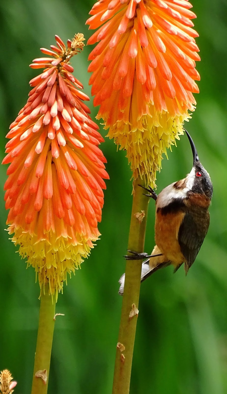 Bird drinking nectar.