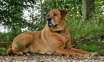 Perro raza Broholmer Dinamarca