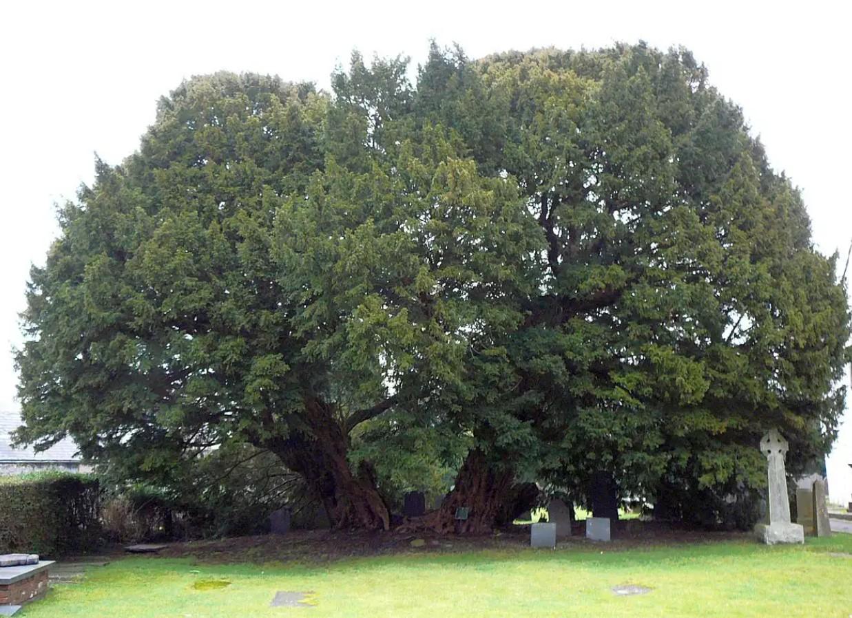 Oldest Living Trees, Llangernyw Yew