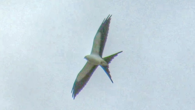 Swallow Tailed Kite Hunting