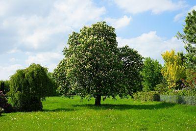 Castaño chestnut con sus flores en un campo cercado, acompañado por otros árboles.