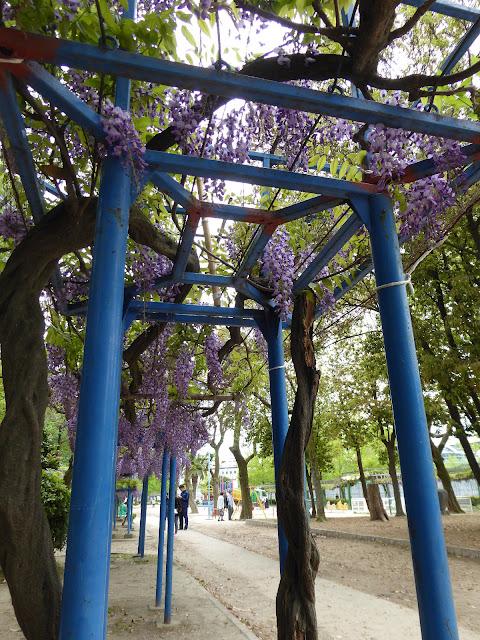 下福島公園(しもふくしまこうえん)の藤の花