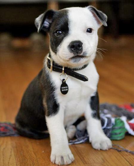 Adorable Bicolor Pitbull
