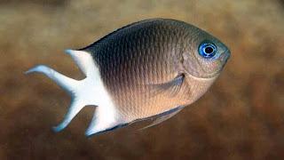 Damsel fish.