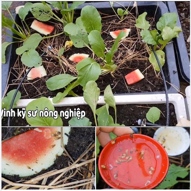 Hướng dẫn cách diệt ốc sên cho vườn rau sạch